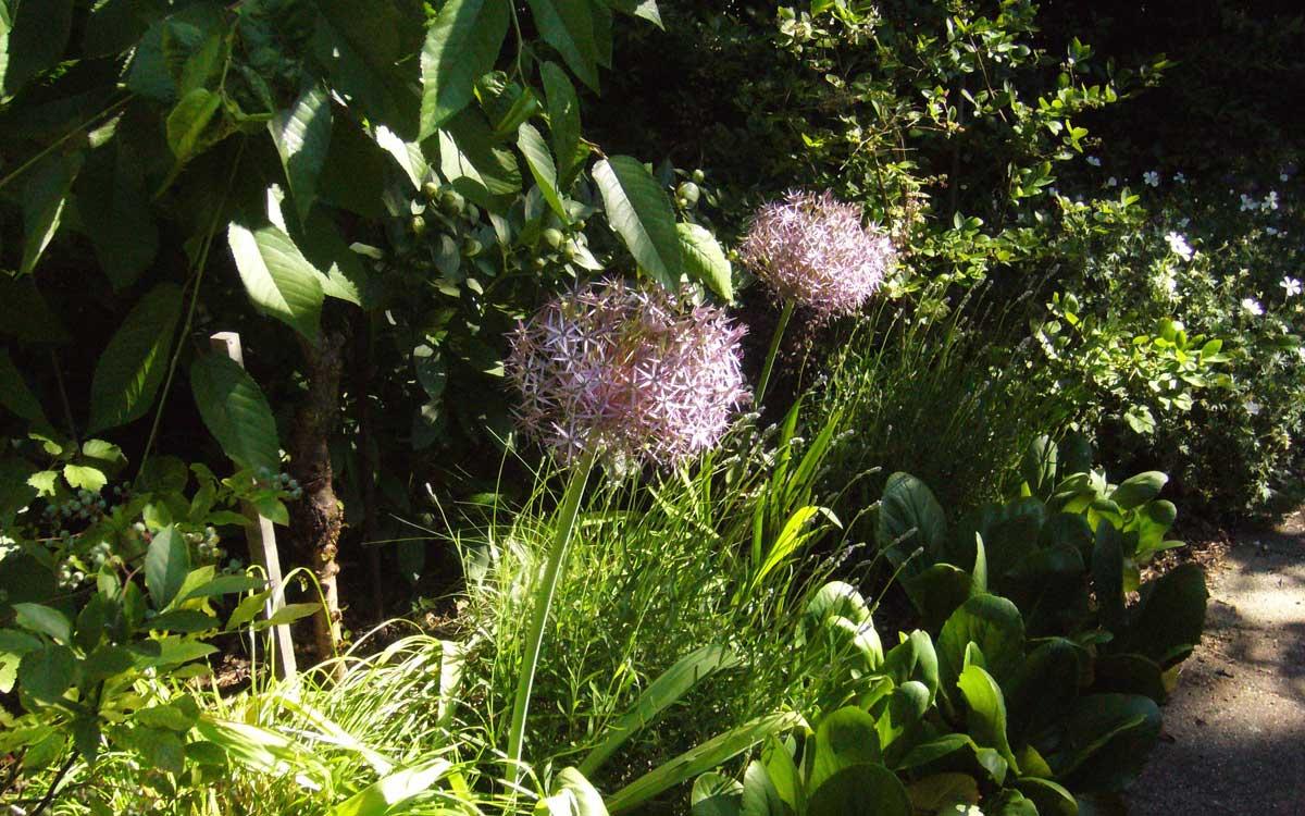 Allium christophii oder Sternkugel-Lauch. Die Blüten haben einen Durchmesser von bis zu 25cm.