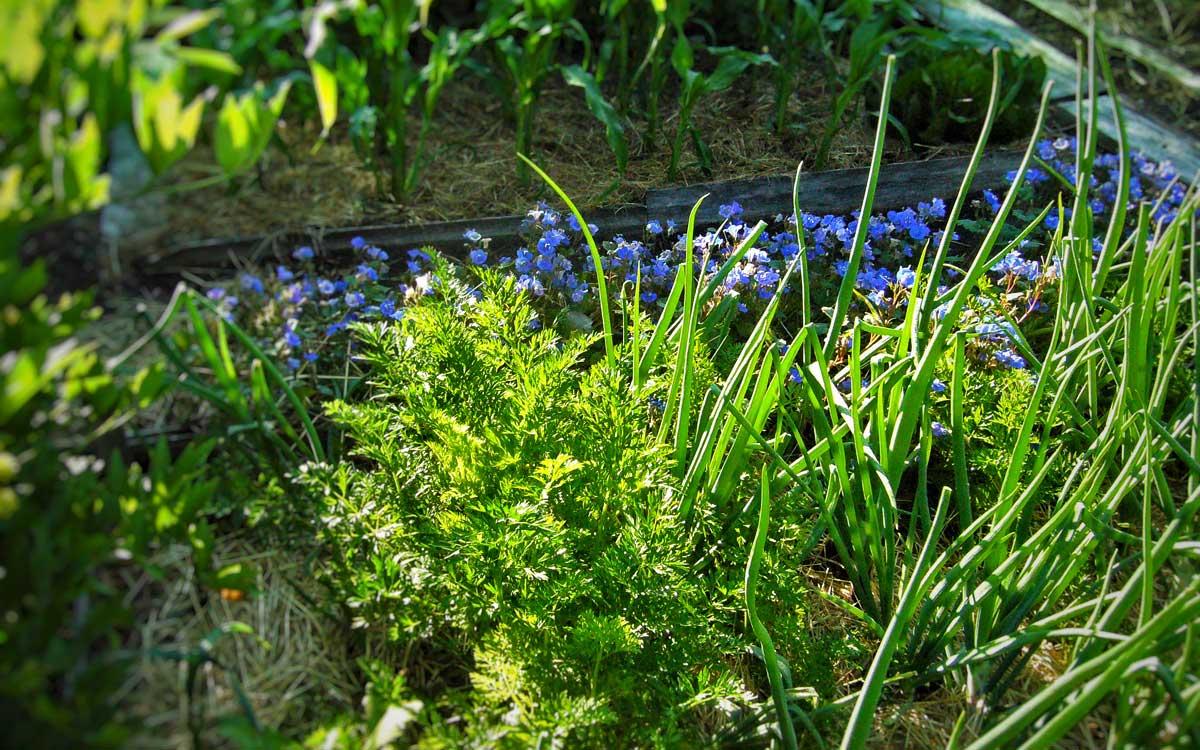 Zwiebeln gemeinsam mit Karotten. Die blauen Blumen heißen Bienenfreund bzw. Phacelia campanularia.