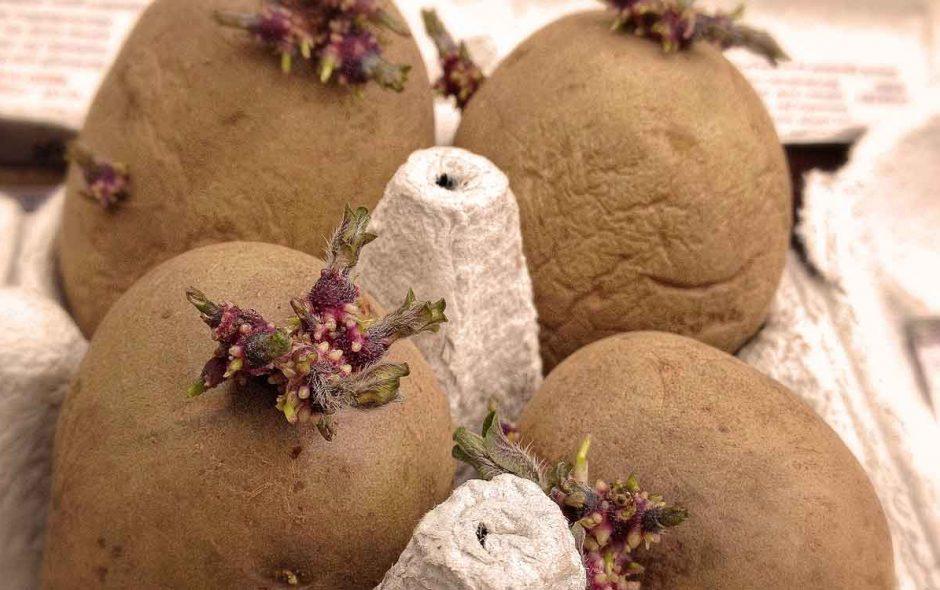 Von Kartoffeln unter Stroh und von Couch Potatoes