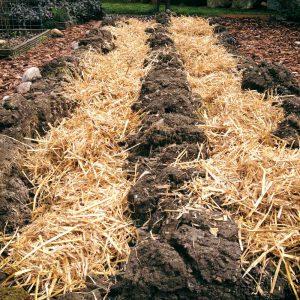 Die Kartoffeln liegen wohlbehütet unter Stroh